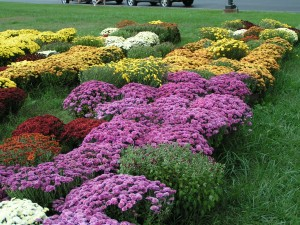 Mums, fall flowers, mums the word,