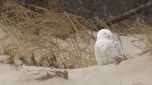 snowy owl in delaware,