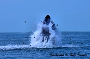 humpback whale, bethany beach, delaware whale watchers,
