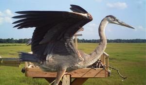 blue heron, de nest the osprey project, fishing birds