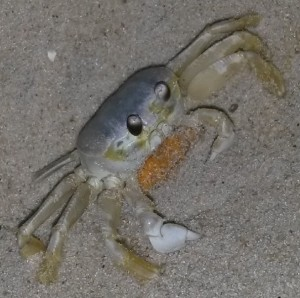 ghost crab with eggs