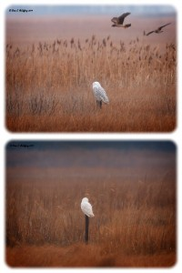 snowy owl in Delaware, port mahon, bird watching, north american owls, irruption, migratory raptors, arctic owls