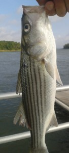 Striped bass (shorty or schoolie), rock fish, fall run, spring run, atlantic migratory fish,