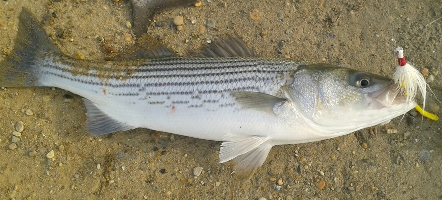 Delaware's 2015 striped bass regulations – delaware-surf ...
