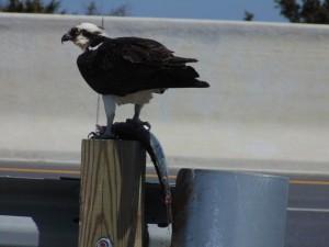 osprey, bird watching, raptors, 1000 acre marsh, ecotourism