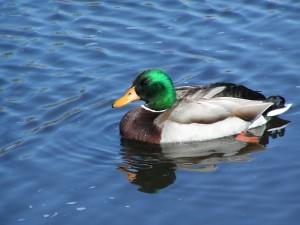 Mallard Duck, 1000 acre marsh, delaware wildlands, bird watching, waterfowl hunting,