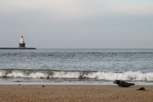 harbor seal, grey seal, cape henlopen, the point, sussex county,harbor of safe refuge, surf fishing, delaware, migratory seals, lewes, inner wall, outer wall, haystacks