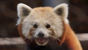 red panda, delaware, delaare state parks, opening day, star wars theme