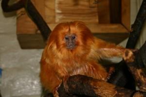 Gold Lion Tamarin,  Brandywine Zoo, delaware state parks, star wars