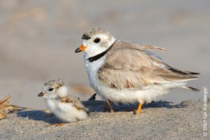 fledgling p[lover, delaware, sussex county, piping plover, endangered bird, federally protected