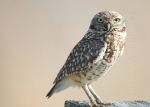 burrowing owl, all about birds, bombay hook wildlife preserve, delaware, sussex county, birding, Audubon society, bird watching