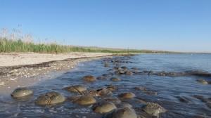 pickering beach, horseshoe crabs spawning, delaware bay beaches, sussex county, delmarva