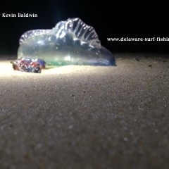 Portuguese Man-O-War washes up on Delaware Beach