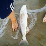 Redfish in the surf