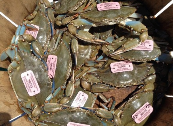 Tagged Blue Claw Crabs