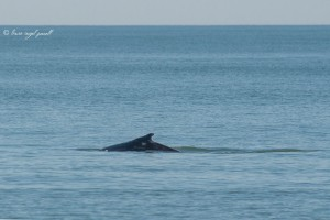 whale, OCMD, delaware, sussex county