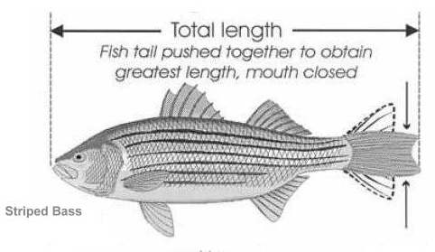 How to measure striped bass